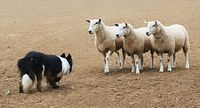Sheepdog and 3 sheep